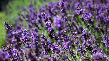 יופי טבעי: טיפוח על בסיס צמחי מרפא
